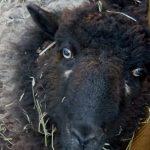 Sheep Sense – Sight n°2