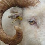 Sheep Sense – Sight n°1
