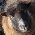 Sheep Sense – Sight n°4