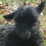 Sheep Sense – Hearing n°6