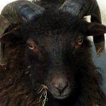 Sheep Sense – Sight n°3