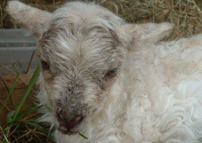 Sheep Sense – Hearing n°4