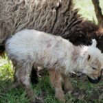 First Lamb of 2021