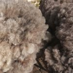 Sheep to Sweater Sunday n° 158 : The First Fleeces