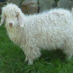 Sheep to Sweater Sunday n° 69 : No Playing Favorites !