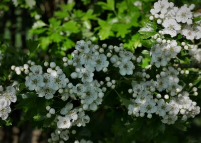 The Sweet Smell of Hawthorn Blossoms